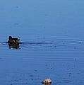 Duck Swirl by John  Kolenberg