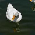 Ducking In by Kathy Clark