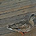 Ducking by Lauren Serene