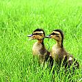 Duckling Chatter by Geralyn Palmer
