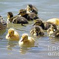 Ducklings 09 by J M Lister