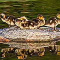 Ducklings Catch Some Rays by Bill Lindsay