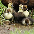 Ducklings by John Blanchard