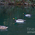 Ducks In A Line  by The Kepharts