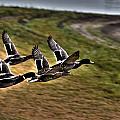 Ducks In Flight V5  by Douglas Barnard