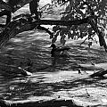 Ducks In The Shade In Black And White by Rob Hans