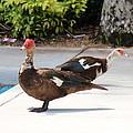Ducks by Lorenzo Simmons