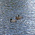 Ducks. Love Triangle.