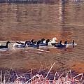 Ducks On Canvas by Douglas Barnard