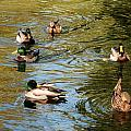 Ducks On The Water by Rob Hans