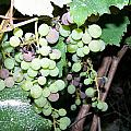 Dusty Grapes by Regina McLeroy