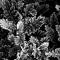 Dusty Miller Bw by Mike Nellums