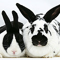 Dutch Rabbits by Mark Taylor