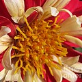 Dwarf Dahlia From The Collarette Dandy Mix by J McCombie