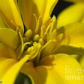 Dwarf French Marigold In Disco Yellow by J McCombie