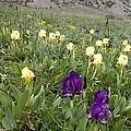 Dwarf Iris (iris Pseudopumila) by Bob Gibbons