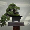 Dwarf Japanese Garden Juniper by Bill Cannon