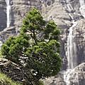 Dwarf Mountain Pine (pinus Uncinata) by Bob Gibbons