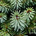 Dwarf Serbian Spruce by Susan Herber