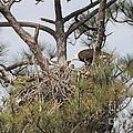 Eagle And Babies by Deborah Benoit