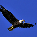 Eagle Fish In Mouth by Randall Branham
