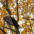 Eagle In Autumn by Randall Branham