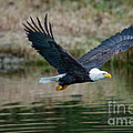 Eagle In Flight by Rod Wiens