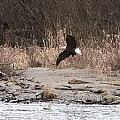 Eagle In Flight by Shelley Aasland