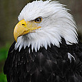 Eagle In Ketchikan Alaska 1371 by Michael Bessler