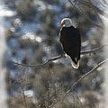 Eagle In Tree 2 by Ernie Echols