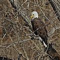Eagle In Tree 3 by Ernie Echols