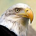 Eagle Portrait by Jean Noren