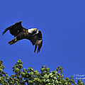 Eagle Over The Tree Top by Randall Branham