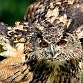 Eagle Owl by Joshua McCullough
