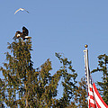 Eagle Rallies Round The Flagpole by Kym Backland