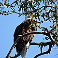 Eagle Under Cover by Diana Hatcher