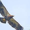 Eaglet 2012 by Deborah Benoit