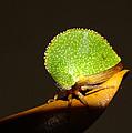 Eared Treehopper by Bill Morgenstern