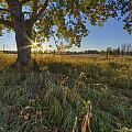 Early Evening Under An Old Poplar Tree by Dan Jurak