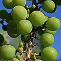 Early Grapes by Susan Herber