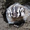 Early Morning Badger by Frank Larkin