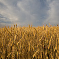 Early Morning Landscape Of Wheat In Palouse by Darrell Gulin