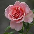 Early Morning Rose by Living Color Photography Lorraine Lynch