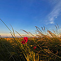 Early Poppies by Svetlana Sewell