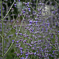 Early Russian Sage by Susan Herber