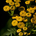 Early Tansy by Jessica Lowell
