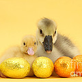Easter Duckling And Gosling by Mark Taylor