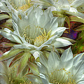 Easter Lily Cactus Bouquet Hdr by Phyllis Denton