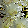 Easter Lily Cactus Bouquet by Phyllis Denton