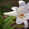 Easter Lily by Living Color Photography Lorraine Lynch